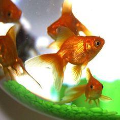 Un pez dorado para la buena suerte via @esoterismos