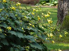 Kirengeshoma palmata for shade Back Gardens, Outdoor Gardens, Shade Garden, Garden Plants, Horticulture, Full Shade Flowers, Laurel Plant, Big Leaf Plants, Woodland Plants