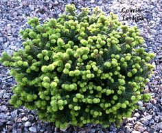 Abies balsamea 'Hudsonia' (1' H x 2' W) Tiny, slow growing balsam fir. Evergreen, zone 3-7. Oh so cute!
