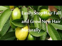 Unbelievable! Guava Leaves Can Stop Hair Loss - Regrow Hair Naturally | godsgardenofeden