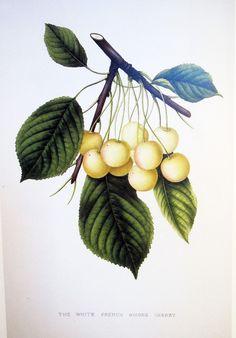 Vintage Botanical Book Print by Prestele of Cherries via Etsy