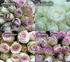 Rose types - love the Amnesia and Memory lane colours