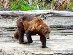 Another picture from our Grizzly Bear viewing adventure