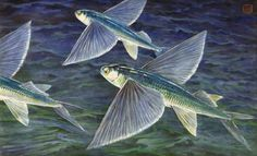 Corbi Wall Decals California Flying Fish Glide over the Sea - 18 inches x 11 inches - Peel and Stick Removable Graphic