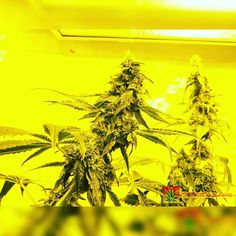 Karma Genetics Karmarado OG Grow (TK X SFV OG X WHITE OG)  High Pressure Aeroponics  1200 Watts  Karmarado OG at 6 weeks. Stretch is done and flowering is in full force  Full grow journal at:  http://ift.tt/1YzBJiR  TAP LINK IN BIO @howtogrowweed420  #weed #marijuana #cannabis #medicalmarijuana #mmj #ogkush #og #loud #dank #hydroponics #aeroponics #howtogrowweed #growingweed #420dotcom #howtogrow #howtogrowweedindoors #karmagenetics  #awardwinningcircle #karma_squad_strong #karmarado…