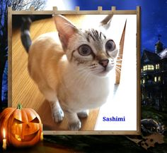 `Sashimi` a beautiful female cat waiting for the Halloween day :-)