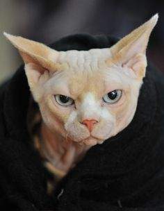 15 Cats Who Are Very Mad At You...like this Canadian Sphynx who can't wait to see you suffer.