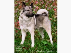 Norwegian Elkhound Flag by Barbara Augello for Dogimage