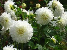 Eden Brothers offers the highest quality and one of the largest assortment of dahlia bulbs for the lowest prices anywhere. All dahlia bulbs are currently available for online sale at savings up to off the regular price. White Flowering Plants, White Plants, Garden Shrubs, Shade Garden, Hydrangea Garden, Hydrangeas, Garden Landscape Design, Small Garden Design, Large Garden Pots