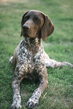 German Shorthaired Pointer Dog Breed Information - McGregor Dogs Gsp Puppies, Pointer Puppies, Pointer Dog, German Pointer Puppy, English Pointer, Shepherd Puppies, German Shepherd Dogs, Best Dog Breeds, Best Dogs