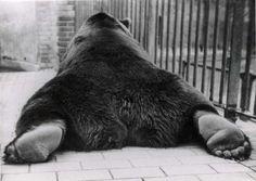 Bear at the Berlin Zoo. Look at those feet. That explains Bigfoot prints.