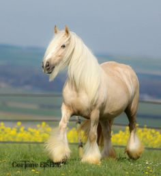 palomino gypsy vanner named LADY CHANCE
