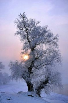 Isolated & Icy Tree