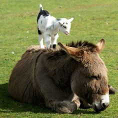So funny.... so true... our baby goats are always climbing on something... sometimes their Moms and sometimes a horse that is sunbathing!