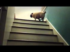 Pug's creative way to get up the stairs.