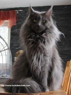 Maine coon gris sur laVieDesChats.com