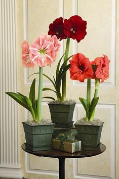 amaryllis .. WalMart has $5 kits  It's the only thing I'll go to WalMart for.   RiteAid and CVS will also have inexpensive bulb kits.  $5 is my limit....