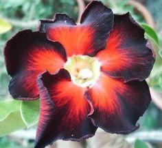 Black Fire Desert Rose