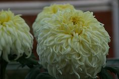Mark's Chrysanthemums