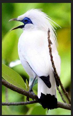 Cara Merawat Burung Jalak Bali yang Cantik | Planet Kicau