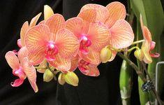Фаленопсис (орхидеята пеперуда) / Phalaenopsis - artgarden.bg