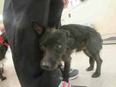 ((URGENT)) He's just a ••PUPPY•• doesn't even have a name. Can you please help him find a home? This precious little 1yr+1mo old black/white Terrier mix is so stressed and afraid in this shelter. PLS HELP SAVE-SHARE THIS POOR BABY OR HE WILL BE EUTHANIZED.