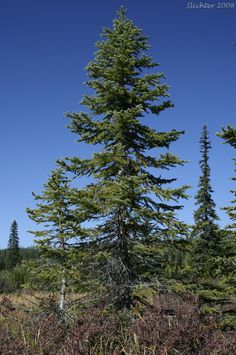 So the tree of the week has been favoring the Eastern folks, so I thought we'd head west and look at the Engelmann Spruce, Picea engelmannii. Short, cool summers and long cold winters is the climat…