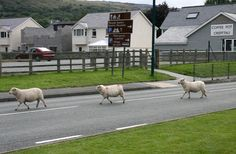 At least these ones are crossing the road rather than just sitting in it! Spinning Wheels, Dublin City, My Ancestors, Cymru, Swansea, Alpacas, Prince Of Wales, Lambs, South Wales
