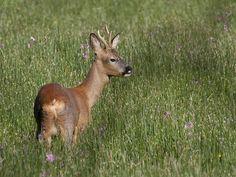Roe Deer in wildflower meadow Deer Species, Roe Deer, Wild Dogs, Domestic Cat, Big Cats, Nature Photos, Animal Kingdom, Mammals, Wild Flowers
