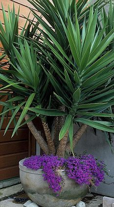 My yucca plant has stopped flowering… Monty Don answers your gardening questions - Modern Patio Plants, Garden Plants, House Plants, Tropical Garden, Tropical Plants, Container Plants, Container Gardening, Yucca Elephantipes, Modern Gardens