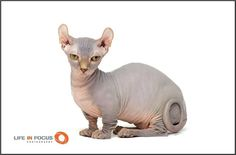The Dwelf is an interesting looking and hairless cat breed that's named for its elf-like features and dwarf-like stature. Chat Sphynx, Sphynx Cat, Hairless Cats, Buy A Kitten, Munchkin Kitten, Old Cats, Cats And Kittens, Dwelf Cat, American Curl