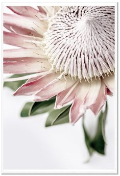 King Protea II Print. A beautiful floral photographic print by professional photographer Dani Burley of Love Your Space. Zippay and AfterPay available.