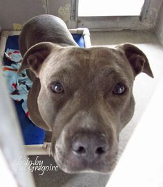 A4828638 I am a friendly 2 yr old female gray/white pit bull mix. I came to the shelter as a stray on May 10. available 5/14/15 NOTE: Pit bulls are not kept as long as others so those dogs are always urgent!! Baldwin Park shelter https://www.facebook.com/photo.php?fbid=968793363132501&set=a.705235432821630&type=3&theater