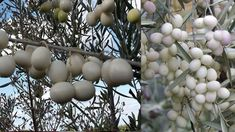 Leucocarpa - The unique White Olives from Italy Italian Olives, Southern Italy, Olive Tree, In Ancient Times, Unique Colors, Greece, Fruit, Food, Biology