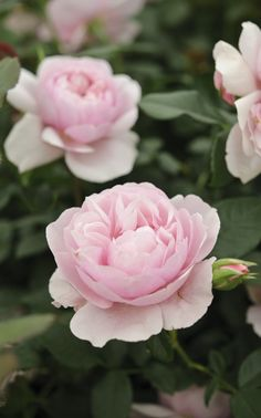 Scented roses: 'Natasha Richardson', a floribunda rose, has a heady, fruity scent. It will flower from late spring through to the first frosts. Discover the 5 key rules for growing better roses http://www.gardenersworld.com/plants/features/flowers/five-ways-to-grow-better-roses/1096.html Photo by Jason Ingram.