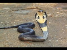 Documentary Film 2015   King Cobras , Nat Geo Wild 2015 , National Geogr...