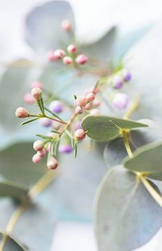 Vaxblomma, eukalyptus
