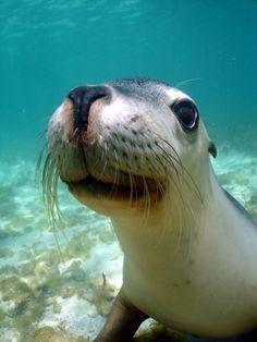 Sea lion 'Yes, I'm Adorable' Foca Animal, Beautiful Creatures, Animals Beautiful, Water Animals, Underwater Life, Sea Creatures, Curious Creatures, Marine Life, Cute Baby Animals