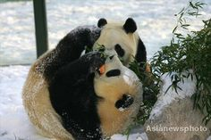 Two pandas playing in snow