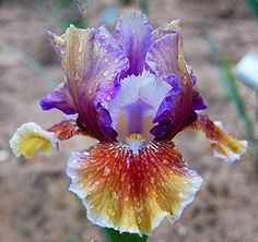 Stunning Colorful Bearded Dutch Iris Roots/Bulbs Garden Flowers Plants Multiply Rapidly Home Balcony Bonsai Bulbs) Iris Flowers, Exotic Flowers, Amazing Flowers, My Flower, Pretty Flowers, Cactus Flower, Tropical Flowers, Spring Flowers, Garden Bulbs