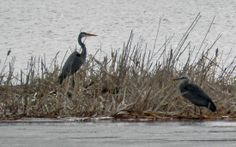 Great Blue Herons arrive in the spring and stay through fall.  Frequently found in the backwaters of the Mississippi River. | #birdwatching #bucketlist #WIGreatRiverRd | WISCONSIN Great River Road