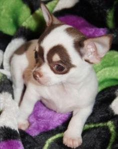Effective Potty Training Chihuahua Consistency Is Key Ideas. Brilliant Potty Training Chihuahua Consistency Is Key Ideas. Chihuahua Puppies, Cute Puppies, Cute Dogs, Dogs And Puppies, Teacup Chihuahua, Doggies, Pomeranian, Akita, Baby Animals