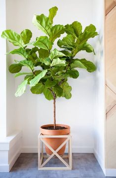 fiddle leaf fig tree Love the wooden frame for the pot