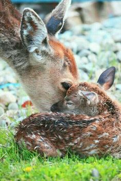 ~~ How so very sweet is this!  Mama deer nuzzling her doe. The deer are  considered to be the gentlist of all within the animal kingdom. It doesnt get any more sweeter this. ~~