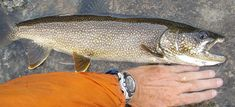 How to Catch Lake Trout – 7 Facts You Should know Trout Fishing Tips, Beautiful Fish, Freshwater Fish, Facts