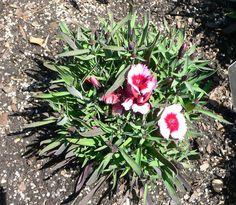 Dianthus Super Parfait Raspberry 500 Pelleted Seeds