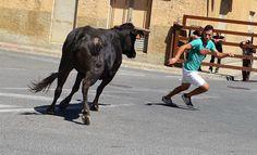 Santacara: Vacas Hermanos Marcen (2)