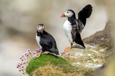 Puffin posers - Puffin posers in Scotland :-)