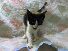 TO BE DESTROYED 5/25/14 BABY ALERT** Manhattan Center My name is CALIFORINA. My Animal ID # is A1000268. I am a female calico domestic sh mix. The shelter thinks I am about 7 WEEKS old.  I came in the shelter as a FOSTER on 05/22/2014 from NY 10029, owner surrender reason stated was FOSTER END. I came in with Group/Litter #K14-177880.