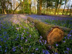 Every spring, a carpet of wild bluebells engulfs the floor of the Hallerbos, a 1,360-acre ancient woodland near Brussels.